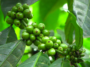 How To Buy The Best Green Coffee Bean Extract Supplements Learn